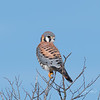 American Kestrel - Brazoria National Wildlife Refuge