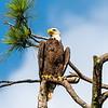 Briar Park Bald Eagle