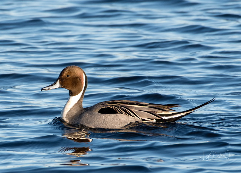 One of the most beautiful and elegant ducks on our Gulf Coast is the Northern Pintail Drake. His regal and exquisite plumage sets him apart from other waterfowl.  It's as though he has on a feathered tuxedo as he swims along!