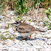 Killdeer on her nest - Anahuac National Wildilfe Refuge
