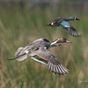 Northern Pintail - Cattail Marsh