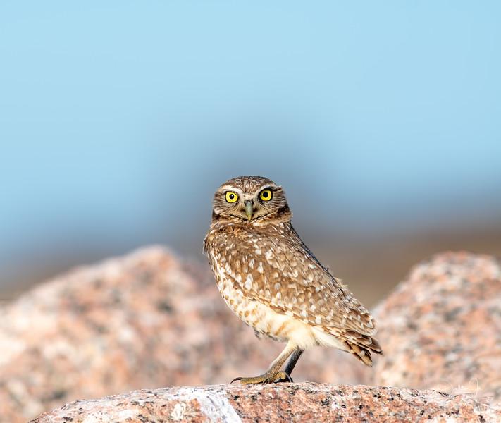 Mattie the Burrowing Owl - Matagorda Bay Nature Center