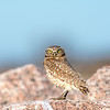 Mattie the Burrowing Owl - Matagorda Bay Nature Center