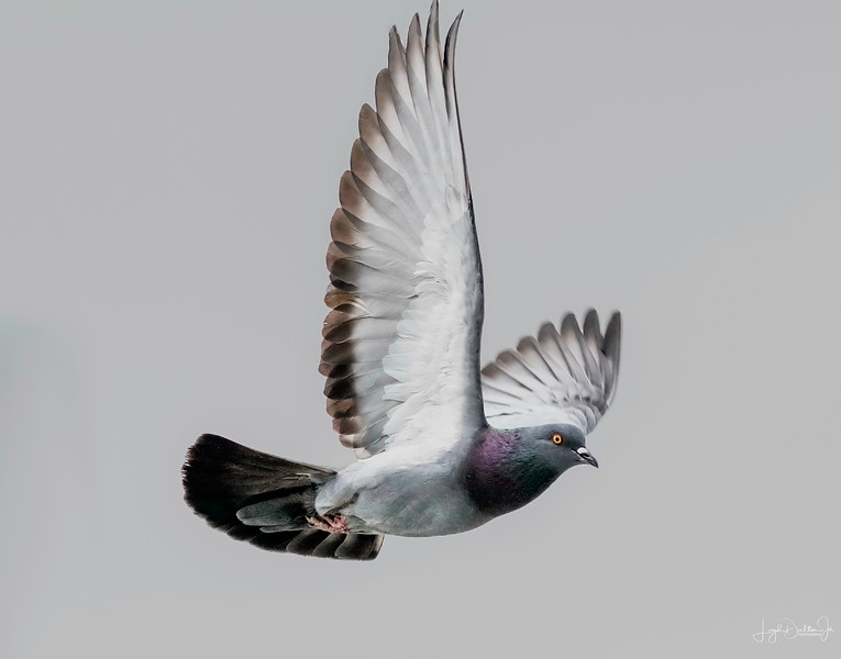 Common Pigeon