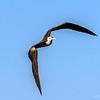 Frigatebird at Smith Point