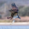 Osprey with a mullet - Matagorda Beach, Texas