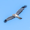 Northern Harrier Hawk - male