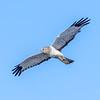 Northern Harrier Hawk - male