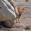 Jackrabbit - Big Bend National Park