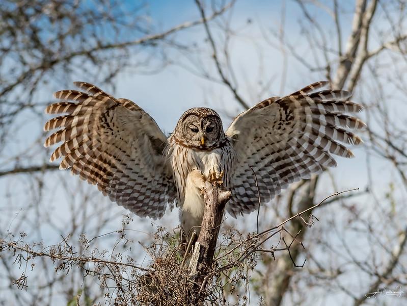 Barred Owl - San Bernard National Wildlife Refuge