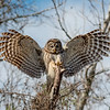 Barred Owl - San Bernard National Wildlife Refuge