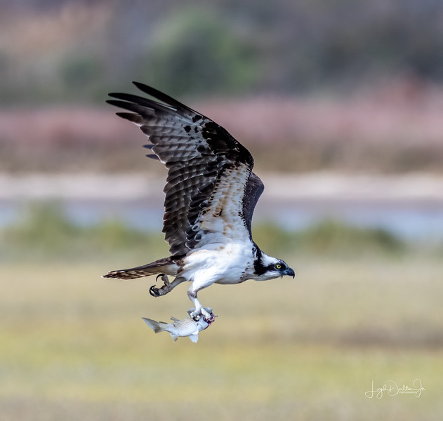 Osprey at Matagorda Beach