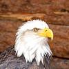 Bald Eagle - Cheyenne Mountain Zoo
