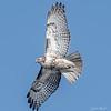 Krider's Red-tailed Hawk