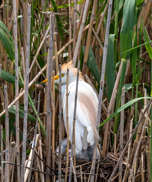 Cattle Egret at the Rookery