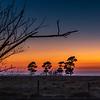 Pine Trees at Twilight