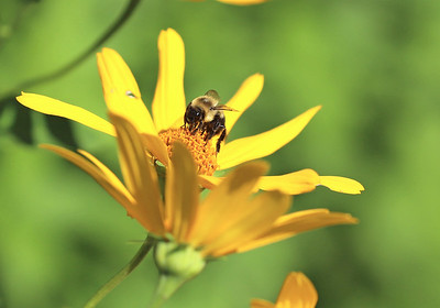 A bee pollinates a flower in the prarie at the Jennings Environmental Education Center. Seb Foltz/Butler Eagle 08/05/20