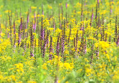 Blazing Stars in bloom in the prarie at the Jennings Environmental Education Center. Seb Foltz/Butler Eagle 08/05/20