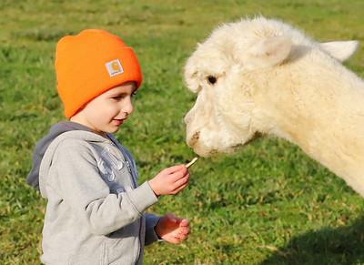 Ben Watenpool, 3, of McCandles feeds an alpaca at WestPark Alpacas farm in Slippery Rock Saturday. Seb Foltz/Butler Eagle 12/12/20