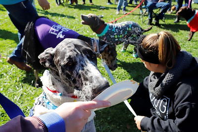 Bruce Wayne, the two-year-old Great Dane clad in his llama costume, competes in the peanut butter eating competition during Saturday's Butler County Humane Society Mutt Strut at Memorial Park. Seb Foltz/Butler Eagle. 10/03/20