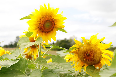 The last remaining patch of sunflowers in the fields along Beacon Road remain in bloom while the rest have fallen for the season. Seb Foltz/Butler Eagle  Sept. 11 2020