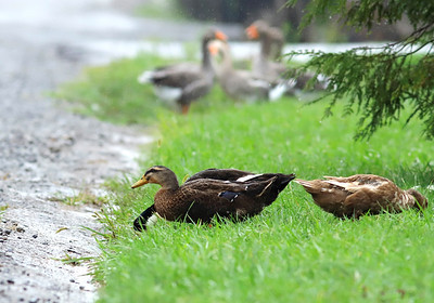 Ducks drink rain runoff on Club House Drive on the edge of the Woodlands in Connoquenessing Township. Seb Foltz/Butler Eagle   (Sept. 2020)
