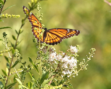 A butterfly sits on a flower in the prarie at the Jennings Environmental Education Center. Seb Foltz/Butler Eagle 08/05/20