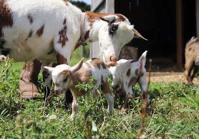Baby goats born last Friday (08/07/20) bred by Butler County 4-H member and Knoch junior Kendyl Steighner, 16, of Saxonburg. Steighner started with one goat in seventh grade and has grown her herd to 9, although some of the younger goats have already been claimed. Seb Foltz/Butler Eagle