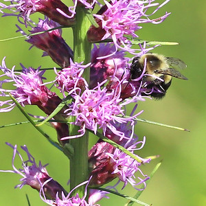 A bee pollinates a blazing stars flower in the prarie at the Jennings Environmental Education Center. Seb Foltz/Butler Eagle 08/05/20