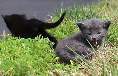 Kittens found by Jim and Alice Stewart of Center Township. The couple named them Ponderosa (Grey), Arby, Wendy and McDonald. Seb Foltz/Butler Eagle Aug 2020