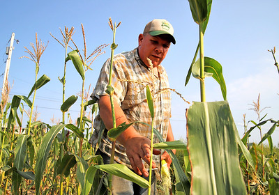 Ken Metrick of Harvest View Farm walks through one of his corn fields most impacted  by drought. Metrick said the drought has increased deer problems and stunted growth of some of his corn. Seb Foltz/Butler Eagle 08/26/20