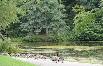 Geese gather along a path at Glade Run Lake. Julia Maruca / Butler Eagle