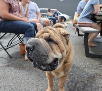 Ruby the Shar Pei waits for results of the Zelienople Horse Trading Days dog show Saturday. Seb Foltz/Butler Eagle 07/17/21