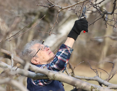 Carol Orsborn, 79, prunes apple trees on her family orchard with her husband Bob(not pictured) Tuesday. The two run Shannon's Orchard -- started by Carol's father in 1950-- on Evan's City Road. The two said cold weather had them behind schedule on their over 50 trees. Seb Foltz/Butler Eagle 03/09/21