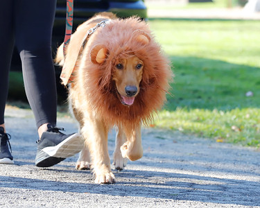 Ready for halloween, two-year-old golden retriever George goes for a stroll during the annual Butler County Humane Society Mutt Strut Saturday at Memorial Park. Seb Foltz/Butler Eagle 10/03/20