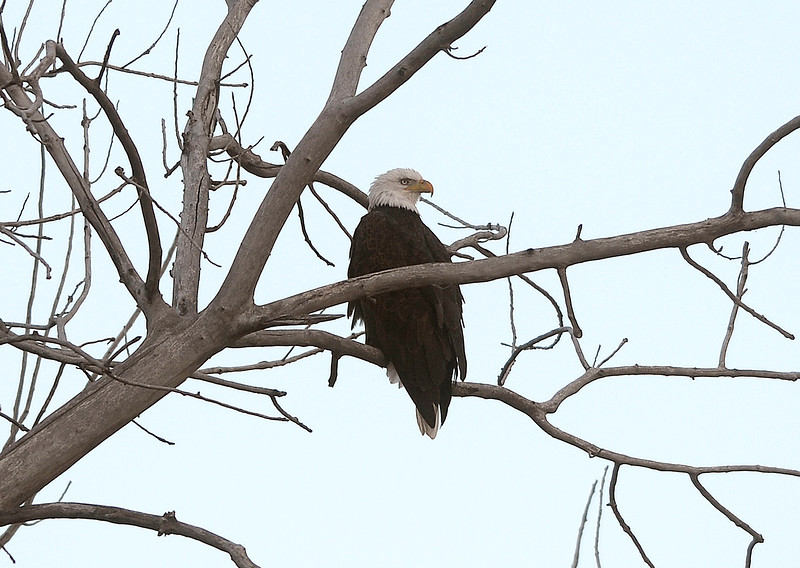 A bald eagle perches in a large tree Tuesday, Feb. 5, 2019, on the west side of Westerdoll Lake on Madison Avenue south of 29th Street in Loveland.  (Photo by Jenny Sparks/Loveland Reporter-Herald)
