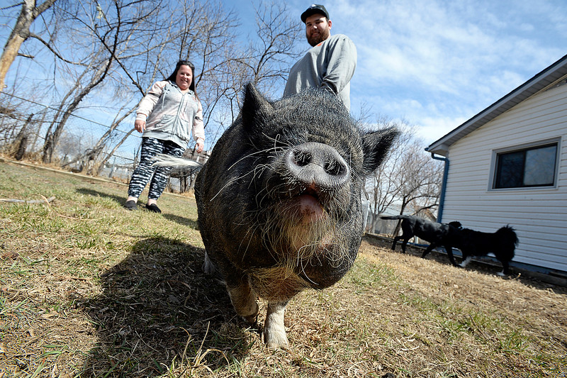 Porkchop the potbelly pig walks around in her backyard as her owner, Amy Cook and Cook's step-son, T.J. Cook, keep an eye on her Thursday March 28, 2019. The Loveland city council is deciding if it wants to amend the city code to allow small goats and pigs as household pets.  (Photo by Jenny Sparks/Loveland Reporter-Herald)