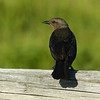 250  Brown-headed Cowbird / Molothrus ater