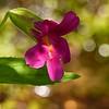 08  Pink Monkeyflower / Mimulus lewisii