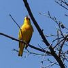 265  Yellow Warbler male