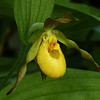 266  Yellow lady's-slipper / Cypripedium parviflorum