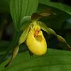 266  Yellow lady's-slipper / Cypripedium parviflorum