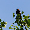 248  A distant Bobolink