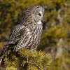 261  Great Gray Owl in late-morning sun