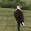 252  My first Bald Eagle on a fence post