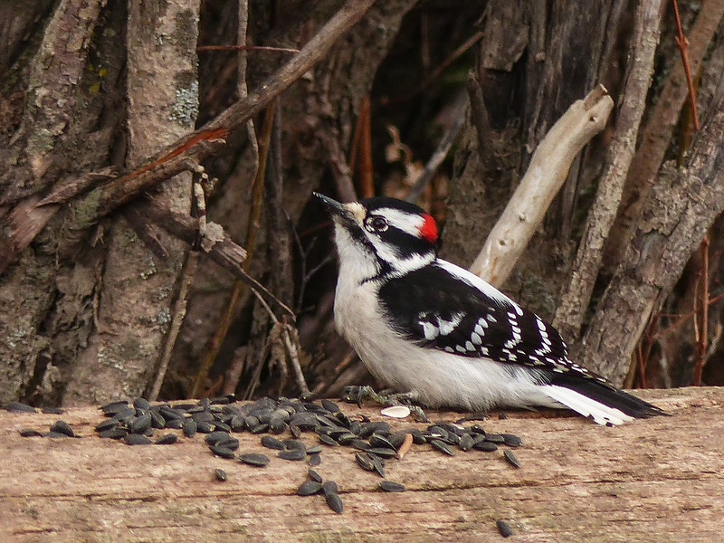 01  Downy Woodpecker