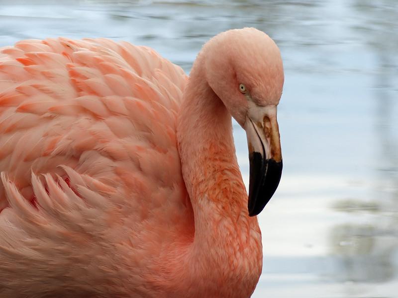 249   Chilean Flamingo
