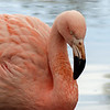 249   Chilean Flamingo