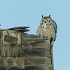 12  'Barn Owl', alias Great Horned Owl