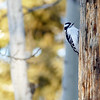 16  Downy Woodpecker and bokeh
